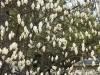01_magnolie
