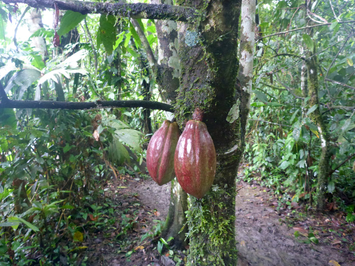 19_kakaobohnen