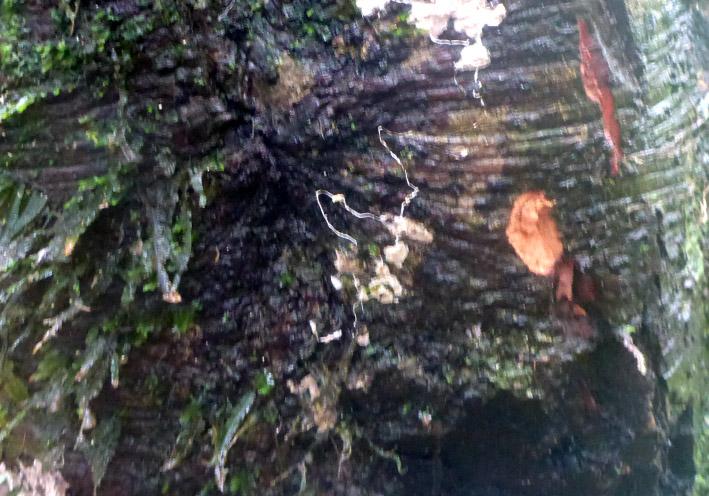 38_zimtbaum