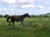 freilaufende_pferde
