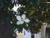 09_magnolienbaum