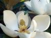 10_magnolie