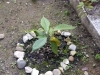 01_kakaopflanze