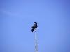 49_black_crow